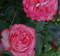 Саженцы Роза Розовый Лед (Pink Ice)