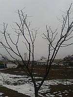 Форма крони дерев, Обрізка дерев і чагарників