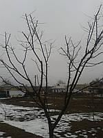 Форма кроны деревьев Обрезка деревьев и кустарников, фото 1