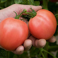 Торбей F1 - томат детерминантный, 1 000 семян, Bejo (Бейо), Голландия