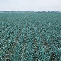 Колумбус - лук порей, 10 000 семян, Bejo/Бейо (Голландия)