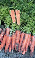 Канада F1 - семена моркови, 25 000 семян (1,6-1,8 мм), Bejo/Бейо (Голландия)