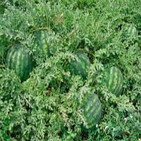 Крисби F1 - семена арбуза, 1000 семян, Nunhems/Нунемс (Голландия)