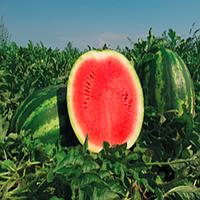 Монтана F1 - семена арбуза, 1000 семян, Nunhems/Нунемс (Голландия)
