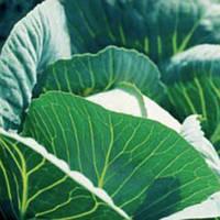 Куизор F1 - капуста белокочанная, 2 500 семян, Syngenta (Сингента) Голландия