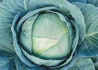 Агрессор F1 - капуста белокочанная, 2 500 семян, Syngenta (Сингента), Голландия