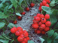Рондар F1 - редис, 10 000 семян, Syngenta (Сингента), Голландия