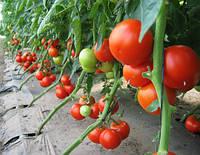 Пабло F1 - томат индетерминантный, 1000 семян, Sakata (Саката), Япония