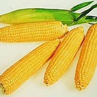 Леженд F1 - кукуруза сахарная, 1 кг, Clause Франция
