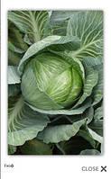 Скиф F1 - капуста белокочанная, 2 500 семян, Clause (Клоз) Франция
