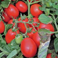 Геракл F1 - томат детерминантный, 10 000 семян, (Lark Seeds)