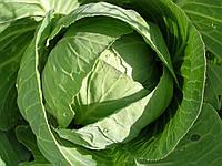 Супер Казачок F1 - капуста белокочанная, 10 000 семян, Nasko Украина