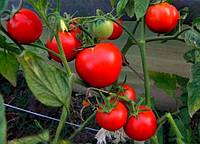 Яна - томат детерминантный, 10 000 семян, Nasko Украина
