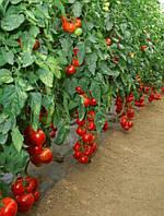 Мишель F1 - томат индетерминантный, 1000 семян, Sakata