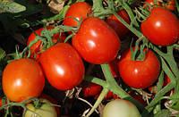 Аксель F1 - томат детерминантный, 25 000 семян, Esasem Италия
