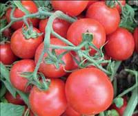 Лапилло F1 - томат детерминантный, 10 000 семян, Agri Saaten Германия