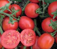 Роста F1 - томат детерминантный, 10 000 семян, Agri Saaten Германия