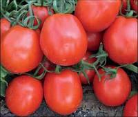 Фантер F1 - томат детерминантный, 10 000 семян, Agri Saaten Германия