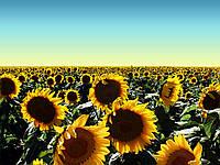 НК Роки - подсолнечник, 150 000 семян, Syngenta Голландия
