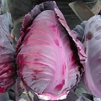 Тинти F1 - капуста коническая красноголовая, 2500 семян,  Nikerson-zwaan Голландия