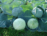 Лагрима F1 - семена белокочанной капусты, 1000 сем. Rijk Zwaan (Рийк Цваан), Голландия