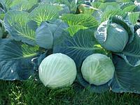 Лагрима F1 - семена белокочанной капусты, калибр. 2500 сем. Rijk Zwaan (Рийк Цваан), Голландия