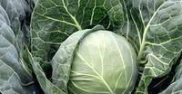 Боликор F1 - капуста белокочанная, 2500 семян, Syngenta (Сингента), Голландия