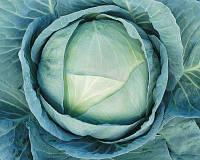 Агрессор F1 (FarMore) - капуста белокочанная, 2 500 семян, Syngenta (Сингента), Голландия