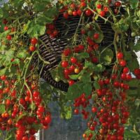 Френзи F1 - томат детерминантный, 1 000 семян, Lark Seeds (Ларк Сидс), США