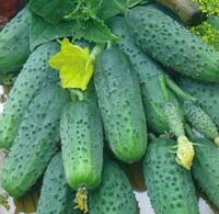 Юлиан - огурец, 50 семян, Цезарь