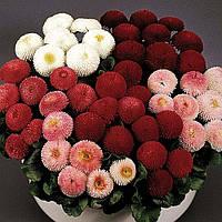 Дворічні квіти