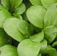 Полевой - салат широколистный, 50 г семян, Semo (Семо)