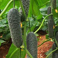 Лютояр F1 - огурец, 500 семян, Yuksel Seed (Юксел Сид) Турция