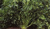 Петрушка листовая Риалто 50 грамм