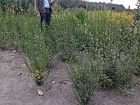Бирючина живая изгородь (Ligustrum)