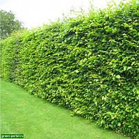 Граб Живая изгородь (Carpinus betulus)
