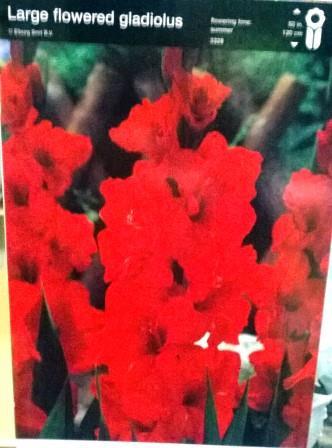 Гладіолус великоквітковий червоний
