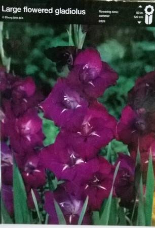 Гладіолус великоквітковий фіолетовий