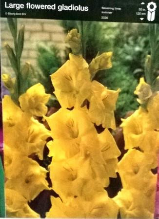 Гладіолус великоквітковий жовтий