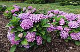 Гортензия крупнолистная Freudenstein (Радость камня) 3год, фото 3