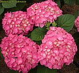 Гортензия крупнолистная Freudenstein (Радость камня) 3год, фото 4