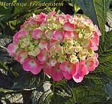 Гортензия крупнолистная Freudenstein (Радость камня) 3год, фото 5