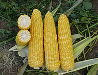 Семена кукурузы Добрыня F1 25000сем. Ларк Сидз