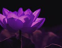 Лотос орехоносный Violet  1 сем
