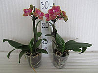 Орхидея фаленопсис миди