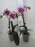 Орхидея Phalaenopsis  Рембрандт миди