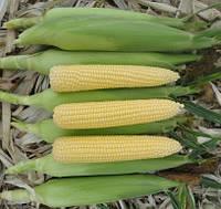 Кукуруза AGX 11-195 F1 5000 сем. Agri.