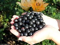 Саженцы смородины черной Софиевская(ранняя)