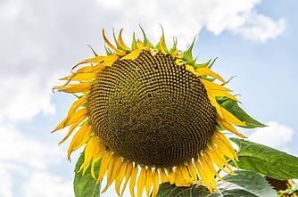 Семена подсолнечника СОЛТАН (Гранстар)