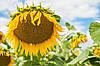 Семена подсолнечника гибрид Форвард (им. В.Я.Юрьева)